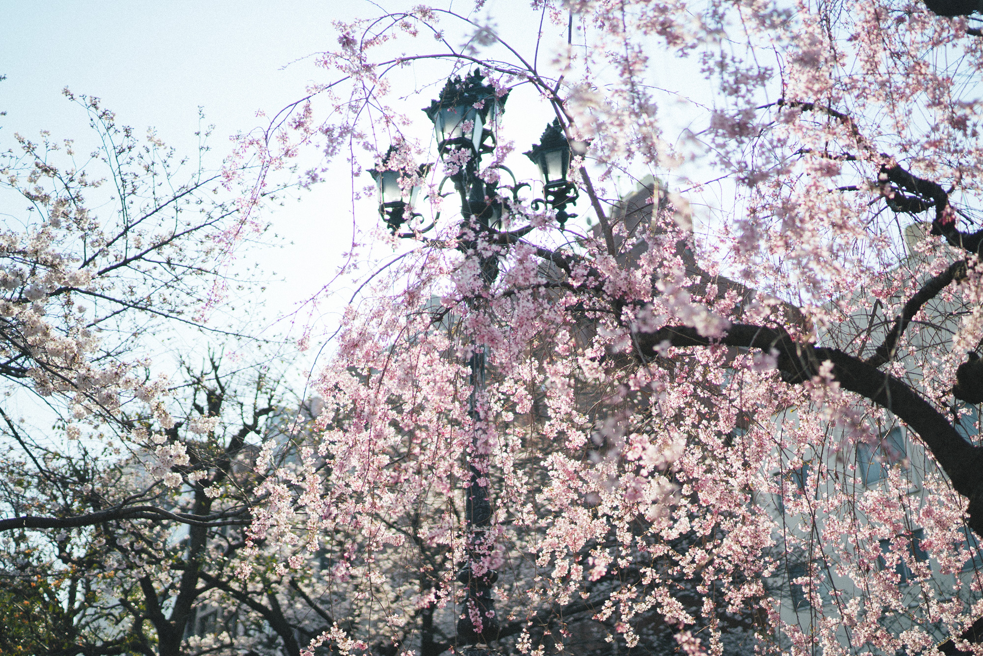 blossoms_weeping