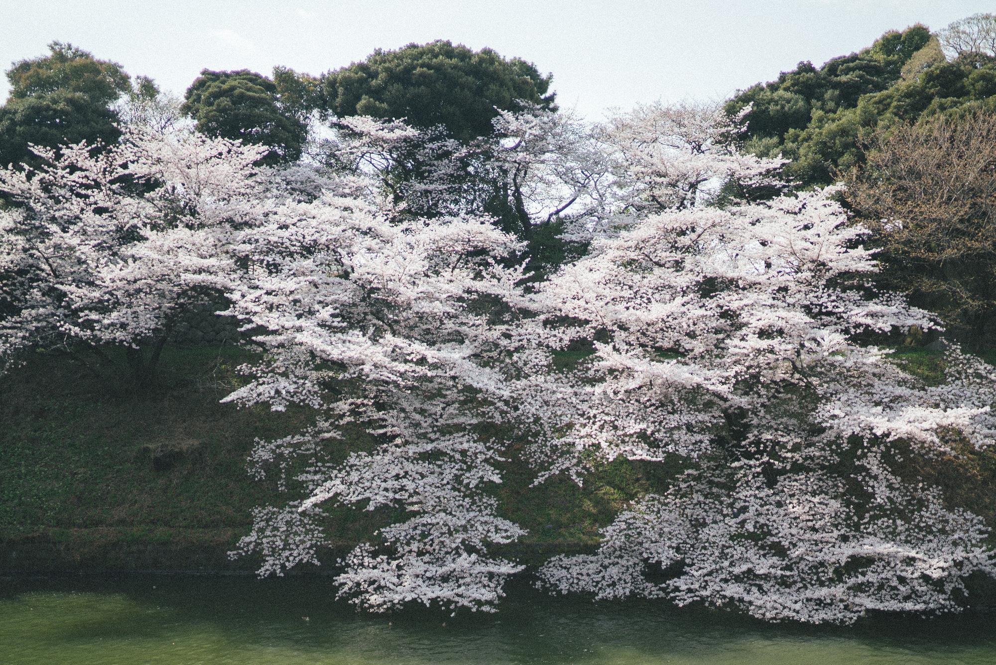 sakura_palace