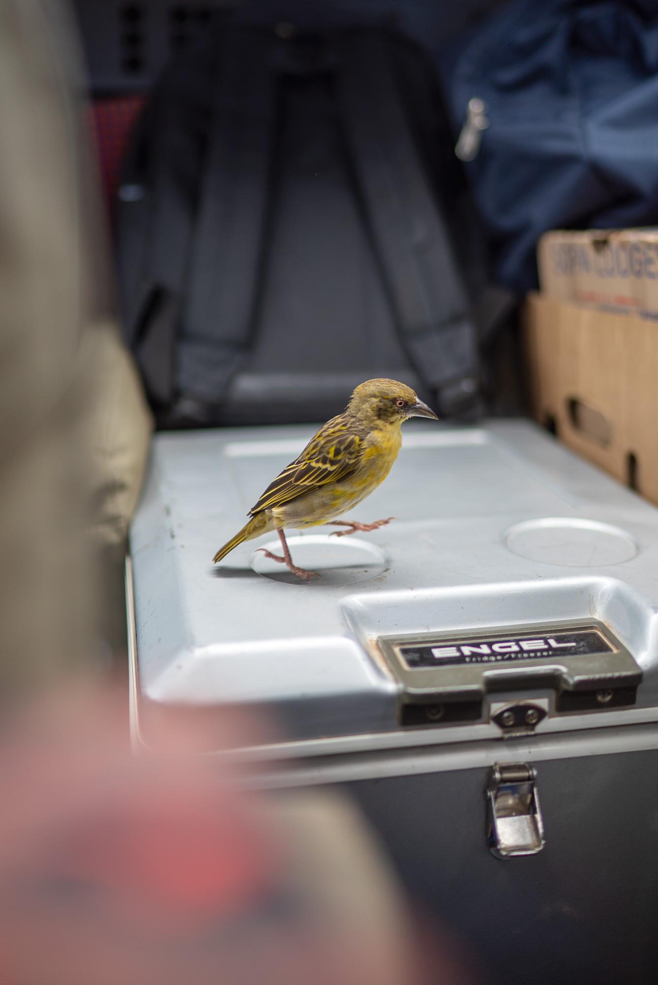 birdincar2
